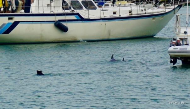hearding-dolphins