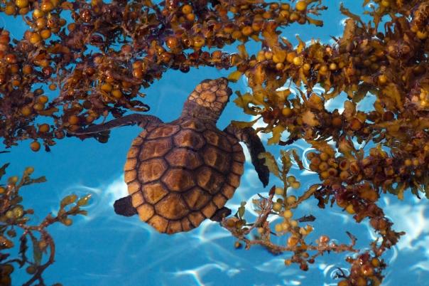 sea-turtle-hospital-hatchling
