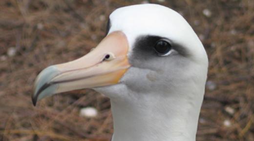 Laysan albatross520x289